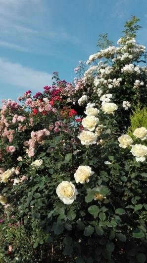 ぶどうとブルーベリーと花柄摘み_e0356469_15163398.jpg