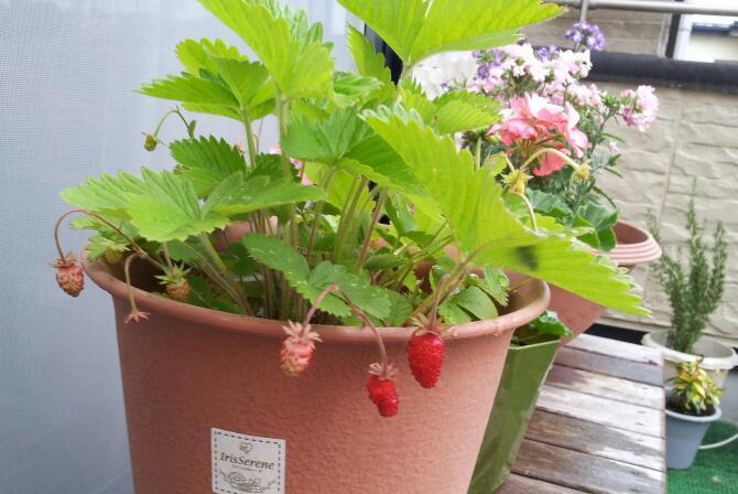 苺の実がなりました♪_c0151053_19280266.jpg
