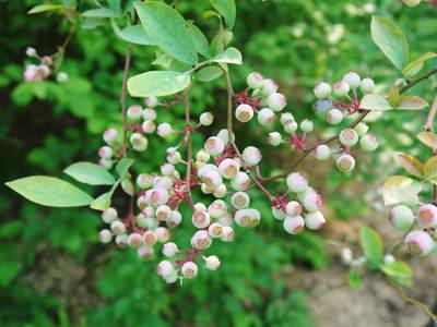 株式会社旬援隊敷地内の様子 ここで育てる果樹の花と果実_a0254656_19285731.jpg
