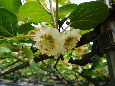 株式会社旬援隊敷地内の様子 ここで育てる果樹の花と果実_a0254656_1964885.jpg