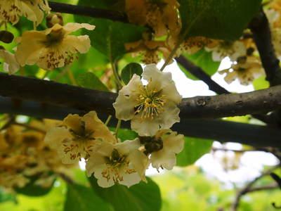 株式会社旬援隊敷地内の様子 ここで育てる果樹の花と果実_a0254656_1982737.jpg