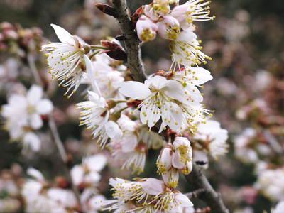 株式会社旬援隊敷地内の様子 ここで育てる果樹の花と果実_a0254656_20432772.jpg