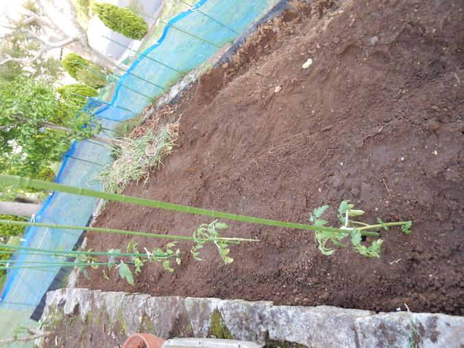 '16,5,30(月)野菜の苗植えとひまわりの種まき!_f0060461_10385483.jpg