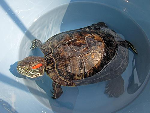 世界カメの日 World Turtle Day_a0188487_23534743.jpg