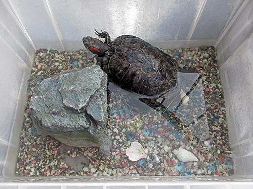 世界カメの日 World Turtle Day_a0188487_2354525.jpg