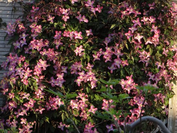 今年もよく咲いたクレマチスのモンタナ♪ 木立性松葉菊など^^_a0136293_17484194.jpg
