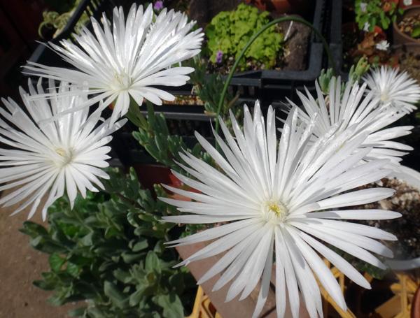 今年もよく咲いたクレマチスのモンタナ♪ 木立性松葉菊など^^_a0136293_17525011.jpg