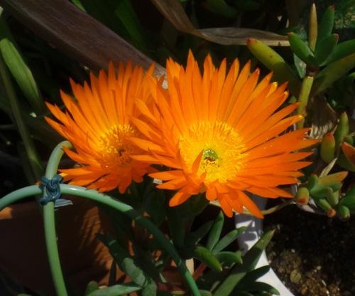 今年もよく咲いたクレマチスのモンタナ♪ 木立性松葉菊など^^_a0136293_18464898.jpg