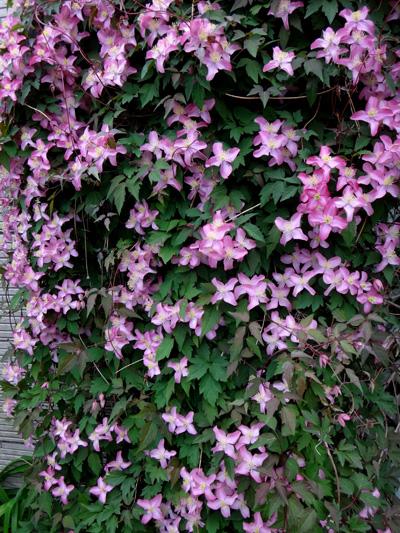 今年もよく咲いたクレマチスのモンタナ♪ 木立性松葉菊など^^_a0136293_18492544.jpg