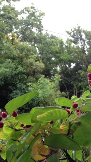 ジューンベリーの季節_d0337937_04062960.jpg