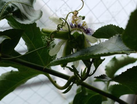 出窓のパッション・フルーツに花が!_e0356356_11530796.jpg