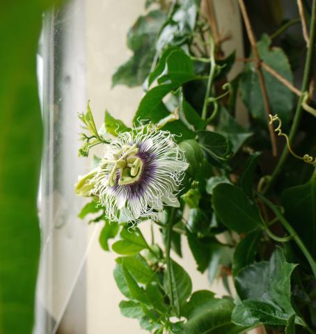 出窓のパッション・フルーツに花が!_e0356356_11555204.jpg