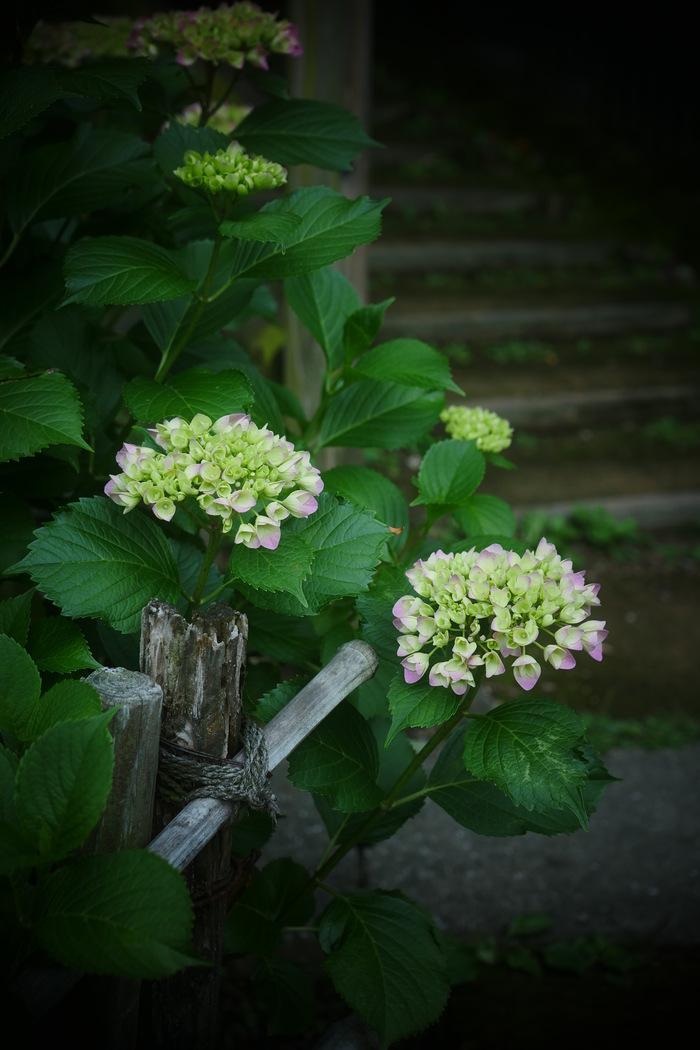 紫陽花 2016 山田池公園 _f0021869_22154723.jpg
