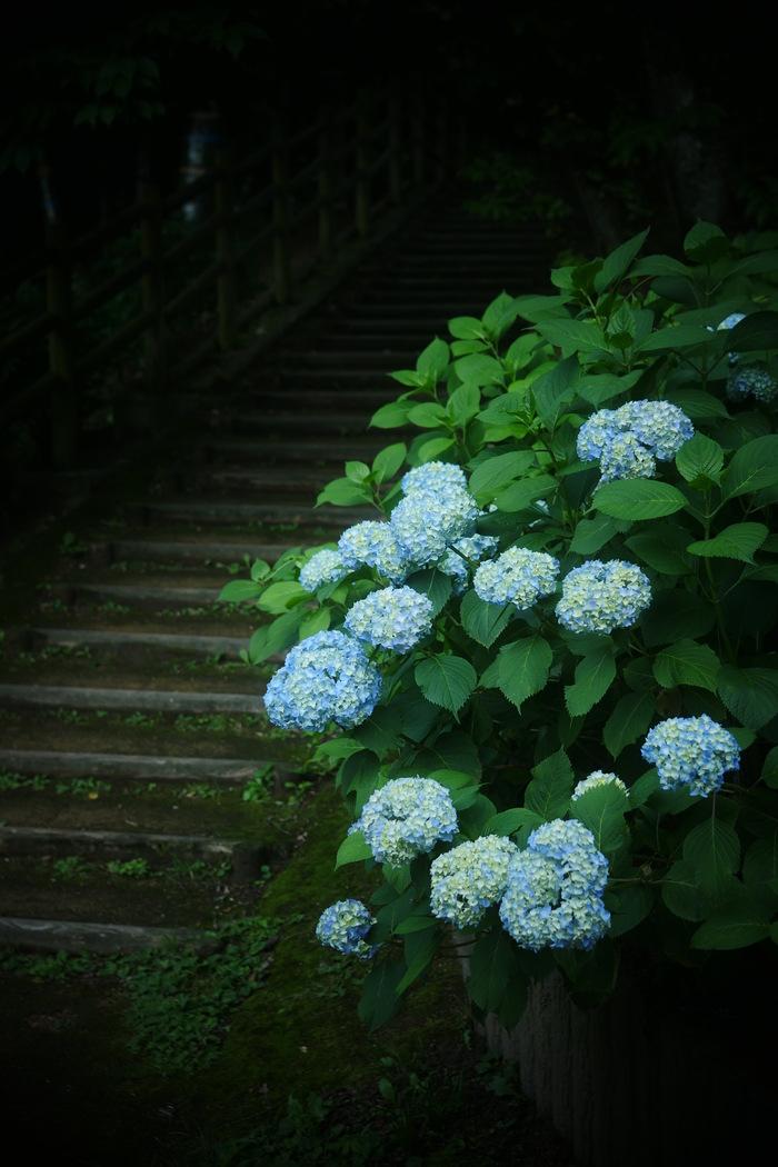 紫陽花 2016 山田池公園 _f0021869_22162979.jpg