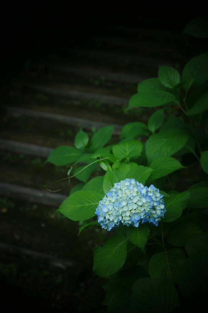 紫陽花 2016 山田池公園 _f0021869_22164579.jpg