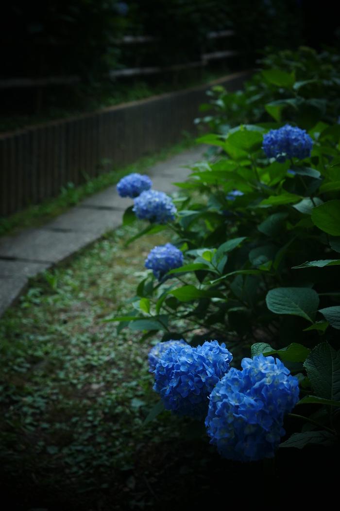紫陽花 2016 山田池公園 _f0021869_22174468.jpg