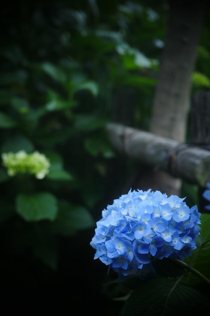 紫陽花 2016 山田池公園 _f0021869_2217748.jpg