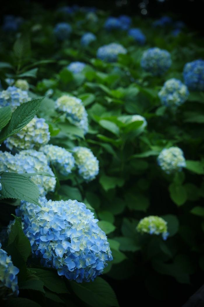 紫陽花 2016 山田池公園 _f0021869_22183277.jpg
