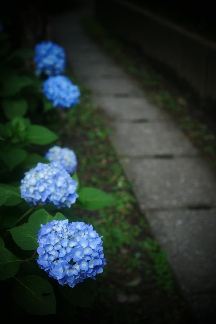 紫陽花 2016 山田池公園 _f0021869_2218575.jpg