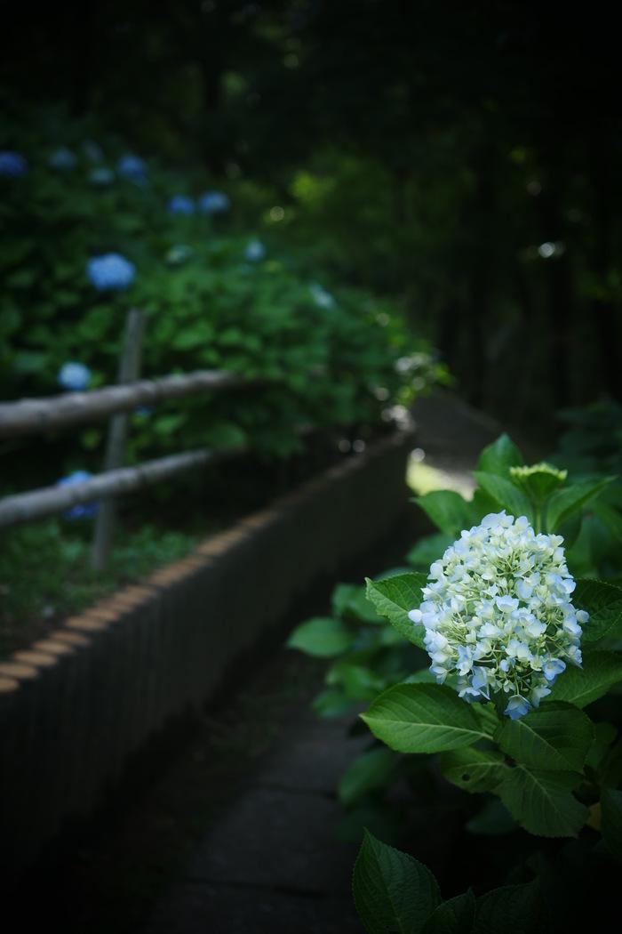 紫陽花 2016 山田池公園 _f0021869_2219213.jpg