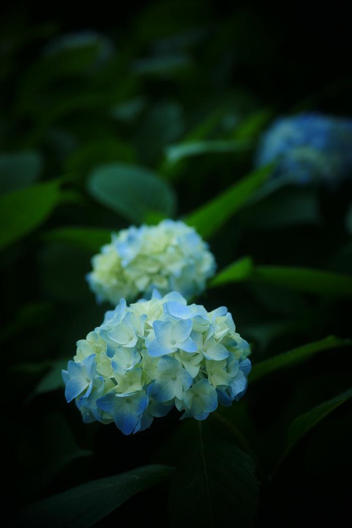 紫陽花 2016 山田池公園 _f0021869_22194850.jpg