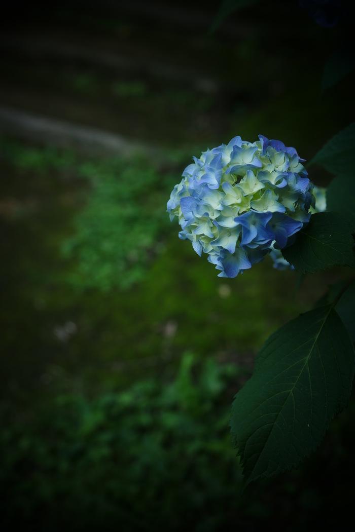 紫陽花 2016 山田池公園 _f0021869_22204980.jpg