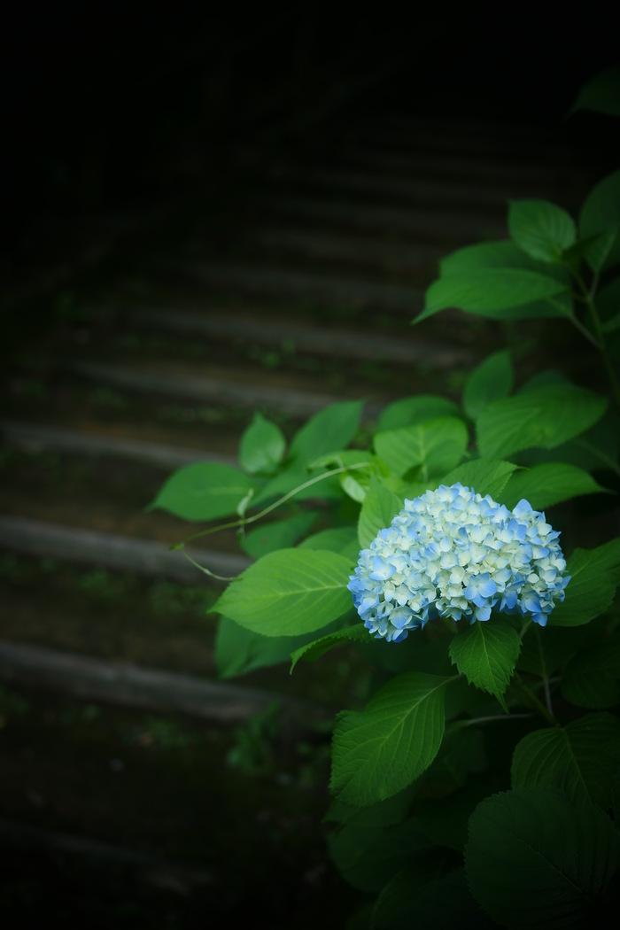 紫陽花 2016 山田池公園 _f0021869_22212727.jpg