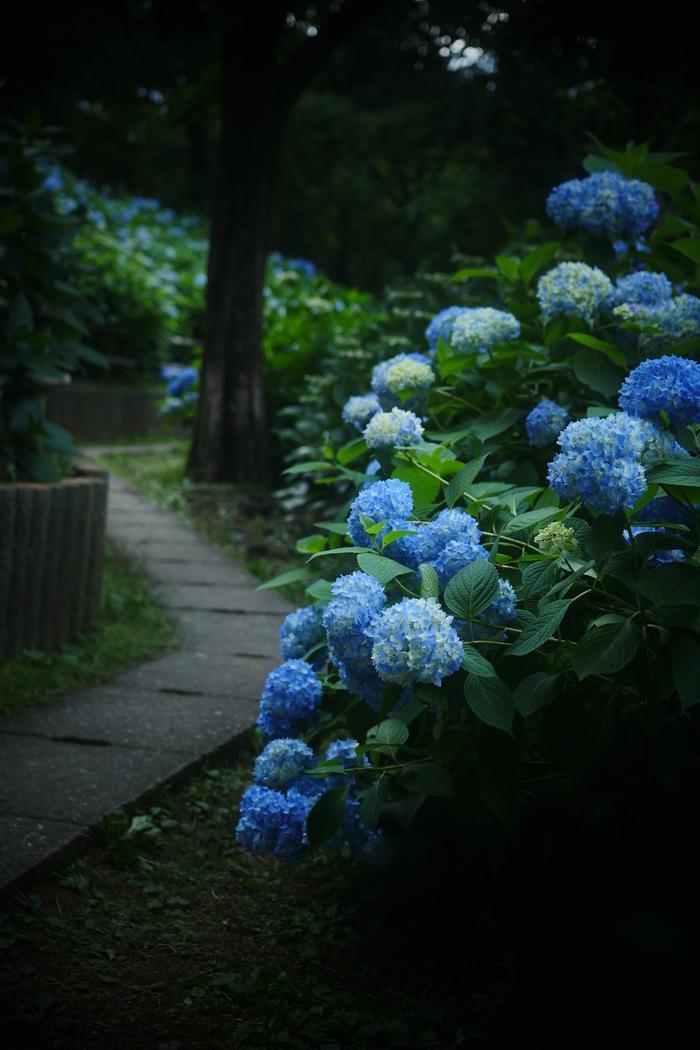 紫陽花 2016 山田池公園 _f0021869_2221433.jpg