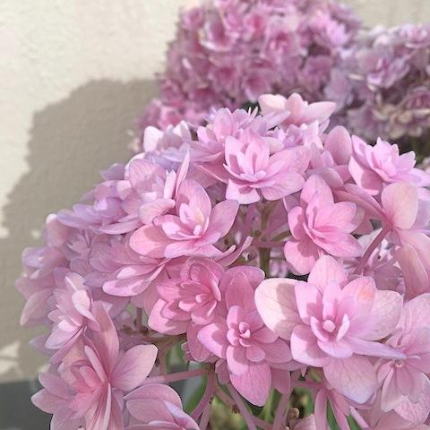 紫陽花_d0343297_19362250.jpeg