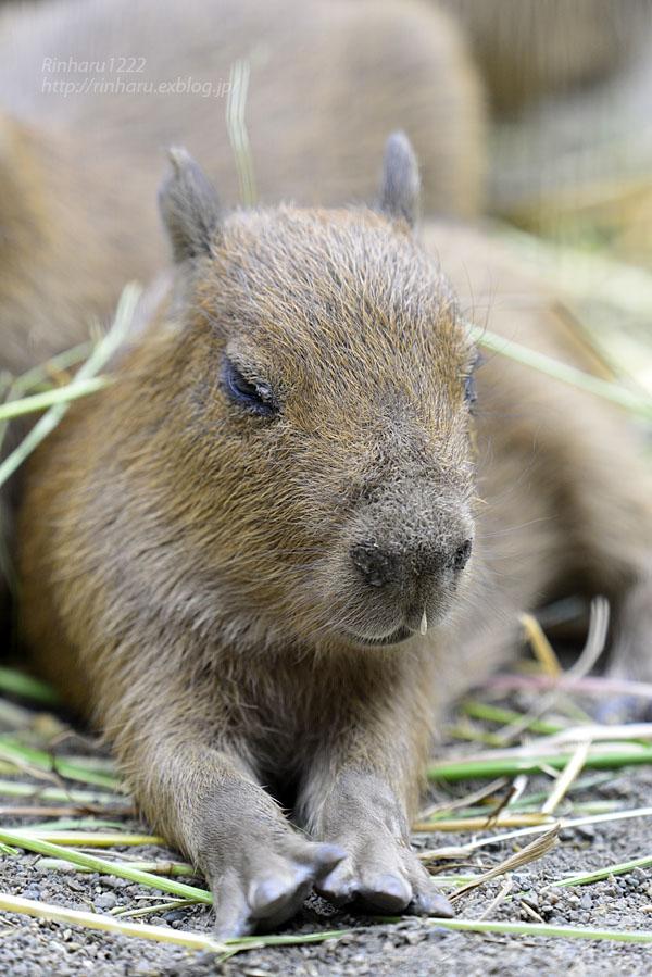 2016.5.28 宇都宮動物園☆カピバラ【Capybara】_f0250322_22251178.jpg