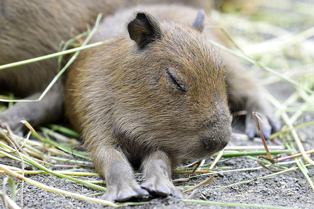 2016.5.28 宇都宮動物園☆カピバラ【Capybara】_f0250322_22251636.jpg