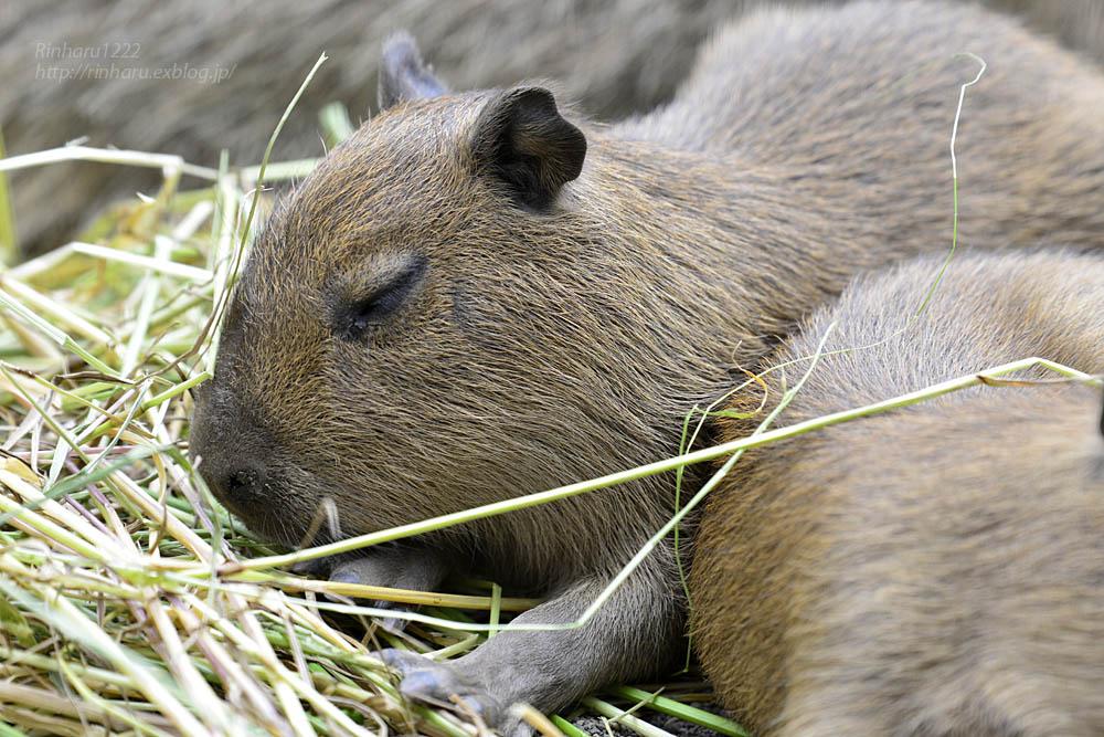 2016.5.28 宇都宮動物園☆カピバラ【Capybara】_f0250322_22251930.jpg