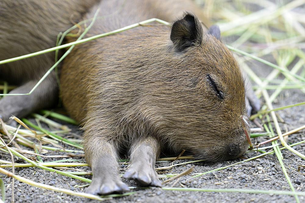 2016.5.28 宇都宮動物園☆カピバラ【Capybara】_f0250322_22252448.jpg