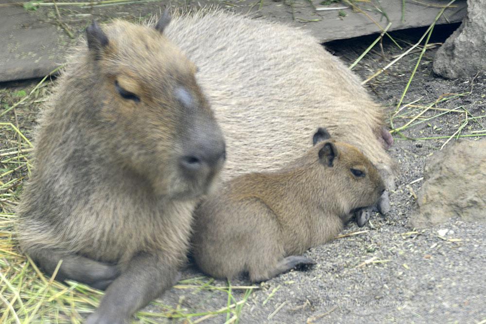 2016.5.28 宇都宮動物園☆カピバラ【Capybara】_f0250322_22252843.jpg