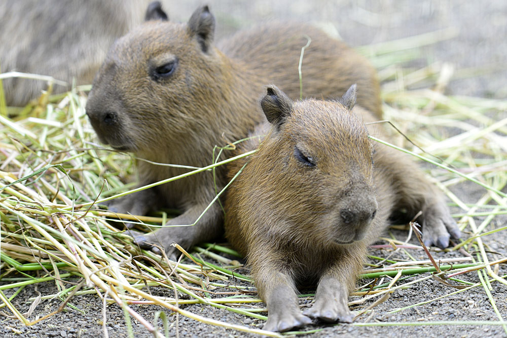 2016.5.28 宇都宮動物園☆カピバラ【Capybara】_f0250322_22253212.jpg