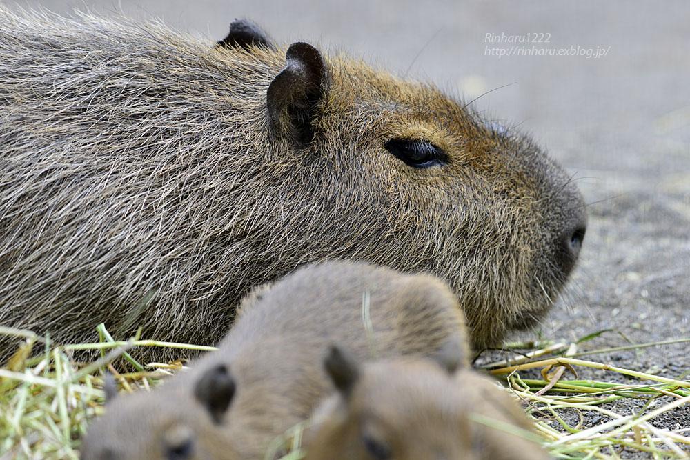 2016.5.28 宇都宮動物園☆カピバラ【Capybara】_f0250322_2225333.jpg