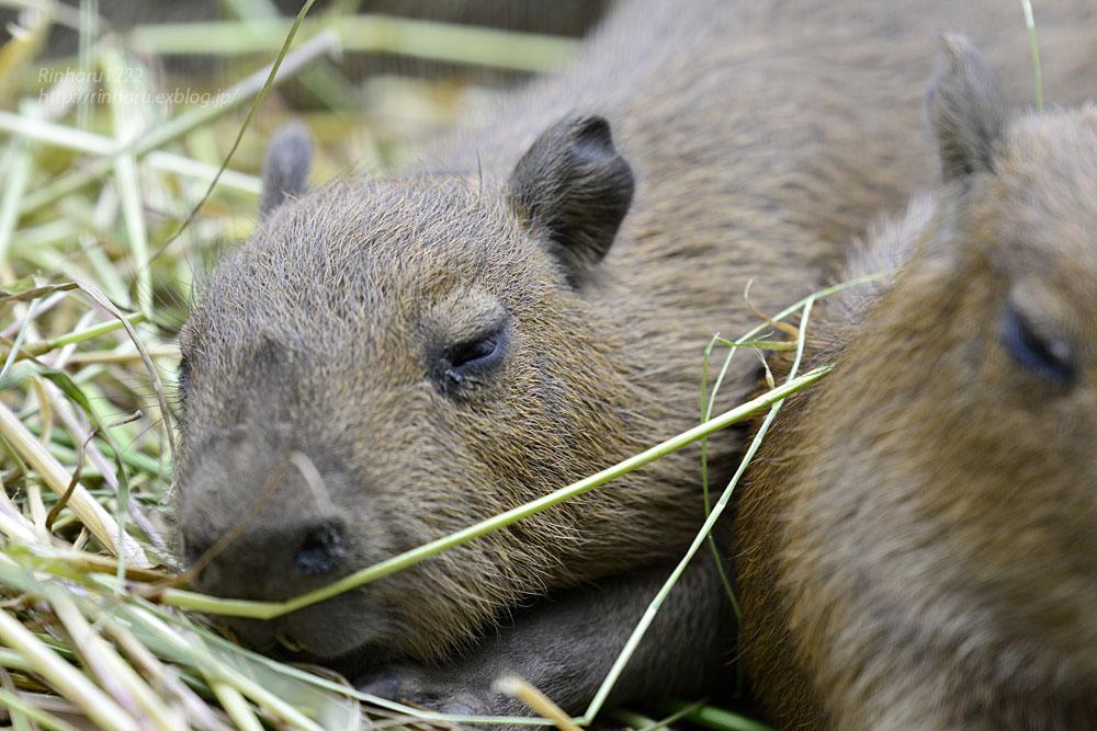 2016.5.28 宇都宮動物園☆カピバラ【Capybara】_f0250322_2225768.jpg