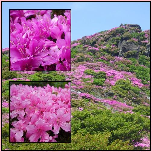 ミヤマキリシマ・平治岳_e0164643_2158969.jpg