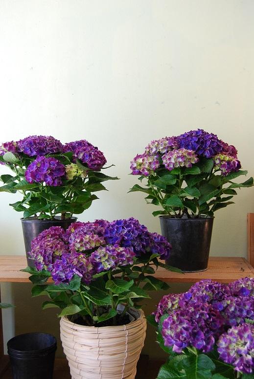 紫陽花が入荷しています_a0201358_11414519.jpg