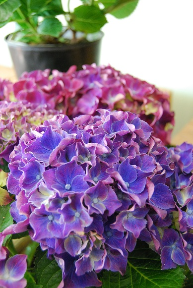 紫陽花が入荷しています_a0201358_11415839.jpg
