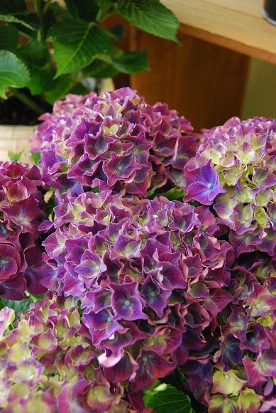 紫陽花が入荷しています_a0201358_1142111.jpg