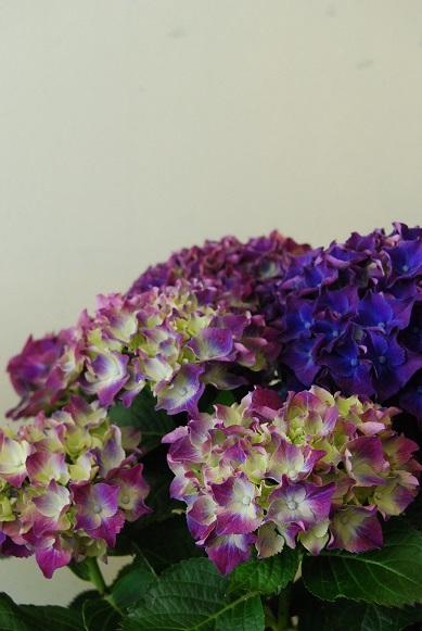 紫陽花が入荷しています_a0201358_11433478.jpg