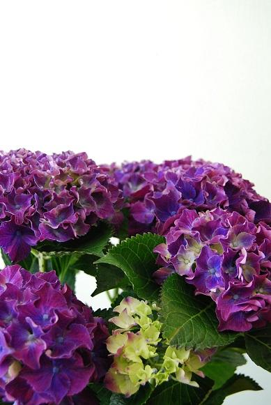 紫陽花が入荷しています_a0201358_11443063.jpg