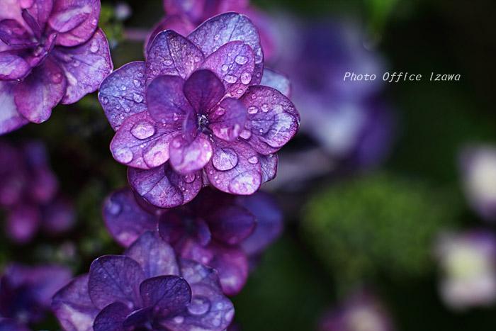 雨の似合う花・・・_c0181958_11225471.jpg