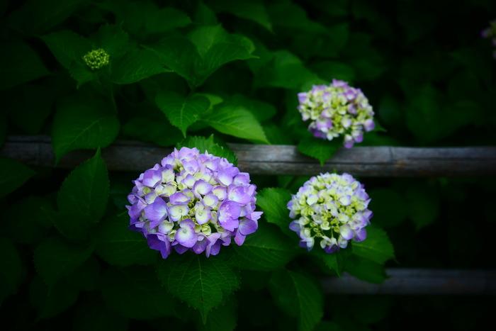紫陽花 2016 山田池公園 _f0021869_2349469.jpg