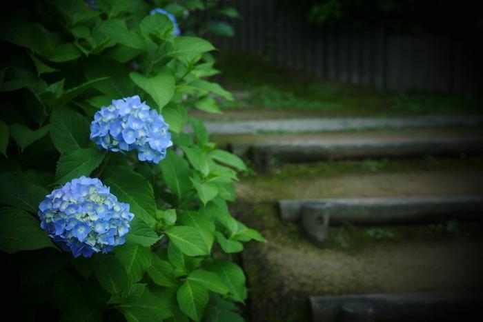 紫陽花 2016 山田池公園 _f0021869_23502861.jpg