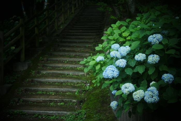 紫陽花 2016 山田池公園 _f0021869_23521566.jpg