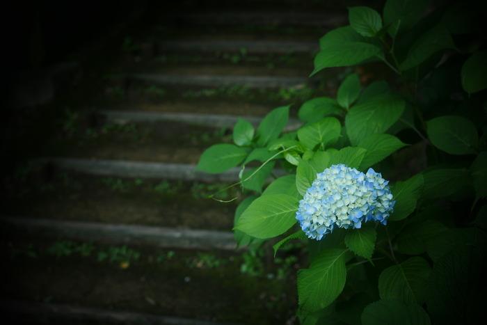 紫陽花 2016 山田池公園 _f0021869_23523626.jpg