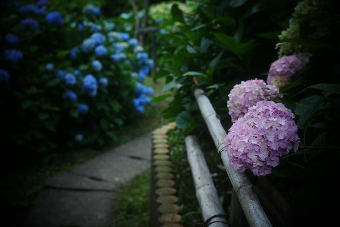 紫陽花 2016 山田池公園 _f0021869_23532866.jpg