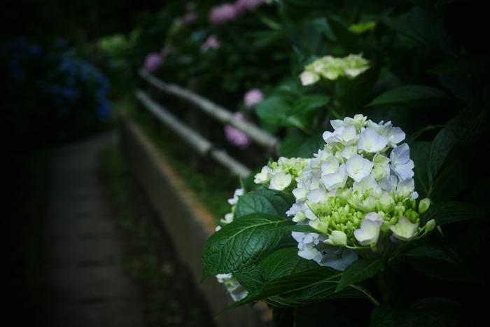 紫陽花 2016 山田池公園 _f0021869_23535240.jpg